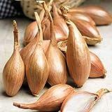 100個のエシャロット種子「Zebrune」 - フランスから家宝エシャロット