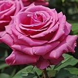 バラ苗 ブルーパフューム 国産大苗6号スリット鉢 ハイブリッドティー(HT) 四季咲き大輪 紫系