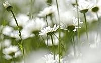 白いヒナギクの花、ソフトフォーカス キャンバスの 写真 ポスター 印刷 植物・花 (60cmx40cm)