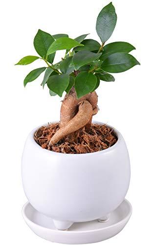観葉植物のおすすめ人気比較ランキング10選のサムネイル画像