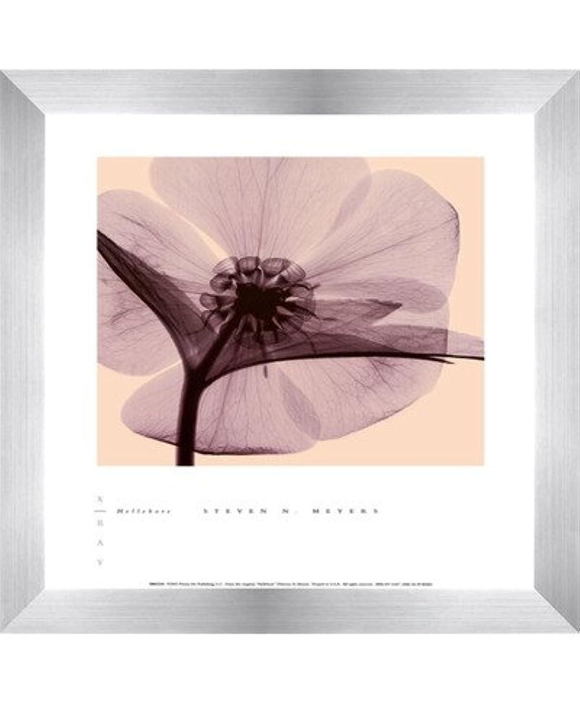 Hellebore by Steven N。MEYERS – 10 x 12インチ – アートプリントポスター LE_100640-F9935-10x12
