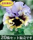 パンジー フリル咲き フリズルシズル イエローブルースワール 10.5cmサイズ大ポット 20ポットセット *お届け地域によっては別途差額送料が発生する場合が有ります。 パンジー ビオラ すみれ 苗 寄せ植え