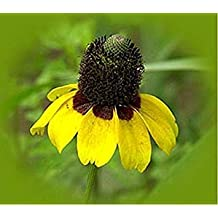 Plat Firm: oneflower- Clasping- 500 Seeds