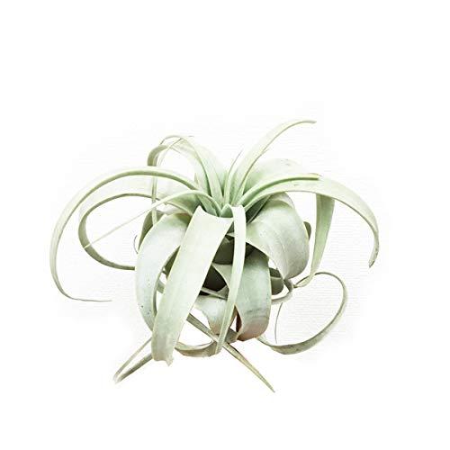 良品お届け キセログラフィカ チランジア エアプランツ xerographica エアープランツ 観葉植物 本物