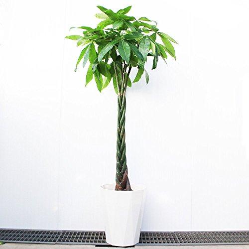 パキラ 10号 大鉢 観葉植物 インテリア 大型 オシャレ 大...