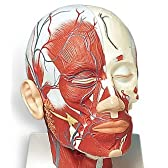 3B社 頭部模型 頭・頚部の筋肉モデル・血管付 (vb128)