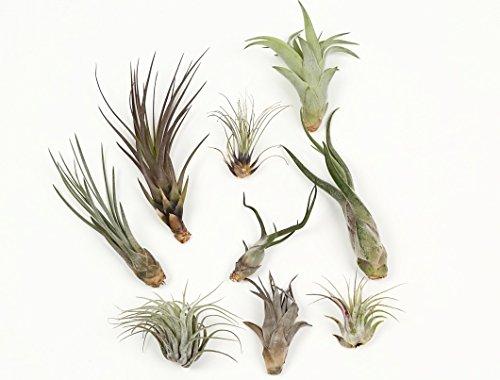 エアープランツ チランジア お得 5株セット エアプランツ 土不要の観葉植物