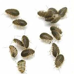 (生餌)デュビア(アルゼンチンモリゴキブリ) Sサイズ 5グラム(約100匹) 爬虫類 大型魚 餌 エサ 本州・四国限定[生体]