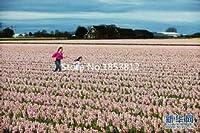 ダークグレー:セール!500ピース16色チューリップ種子2016新しい庭の花四季播き世界レアフラワー種子用ガーデン