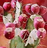 昇進!!! 200個ウチワcactus-食用の果実の種子花の庭の盆栽、ウチワサボテンLeptocarpa、希少な、甘い、栄養価の高いです