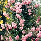 バラ苗 ドリームウィーバー 国産大苗6号スリット鉢 つるバラ(CL) 四季咲き ピンク系