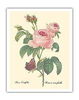 """ローズ・センティフォリア(百花びらのバラ) - から: """"最も美しい花の選択"""" - ビンテージな植物のイラスト によって作成された ピエール=ジョゼフ・ルドゥーテ c.1833 - アートポスター - 28cm x 36cm"""