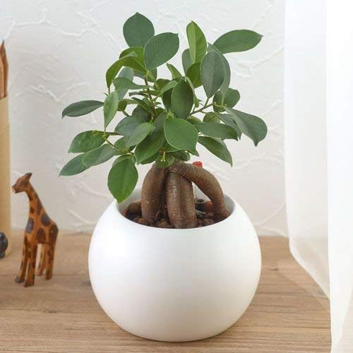 【日比谷花壇 観葉植物】お手入れかんたん観葉植物「人参ガジュマル(ホワイト)」
