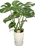 観葉植物 モンステラ6号陶器鉢