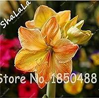 発芽SEEDS:2個のアマリリス種子、アマリリスの花の種子、(未種子)盆栽花の種、バルバドスリリー鉢植えホームガーデンの種子11