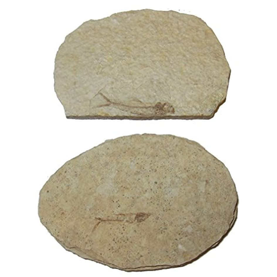 未使用大使聖歌化石スライス51 Fresh Water Herring魚スケルトンAquaticボーンサンプル50万年3