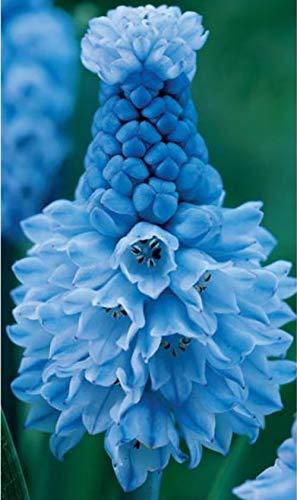 発芽SEEDS:ムスカリAzureum(10個の電球)