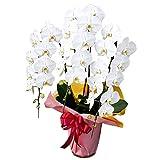 個人ユースで少し見栄を張りたいときにはこの胡蝶蘭 誕生日 開店  開院 金婚式 還暦などのプレゼントにおすすめです