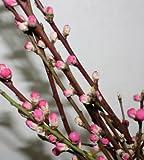 花桃 桃の花 75cmx1把 お手軽品 ひなまつり、お部屋の春らしさアップに。生け花、フラワーアレンジメントにも
