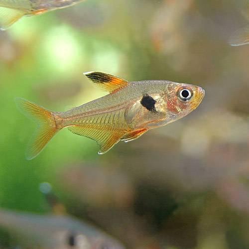 (熱帯魚)レッドファントム・テトラ(ブリード)(6匹) 本州・四国限定[生体]