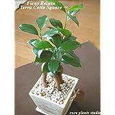 精霊の宿る木★ガジュマル / オリーブテラコッタスクエア / Ficus Retusa / Olive Terra Cotta Square / インテリア観葉植物 / 鉢植え