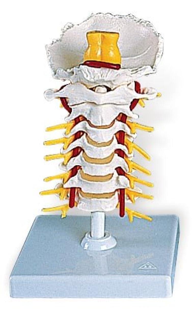 対処力カジュアル3B社 頚椎模型 頚椎モデル (a72)