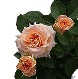 バラ苗 ピーチメイアンディナ 国産大苗6号スリット鉢 ミニチュア系 四季咲き中輪 ピンク系