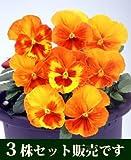 ビオラ マリア オレンジスライス 10.5cmサイズ大ポット 3ポットセット パンジー ビオラ すみれ 苗 寄せ植え