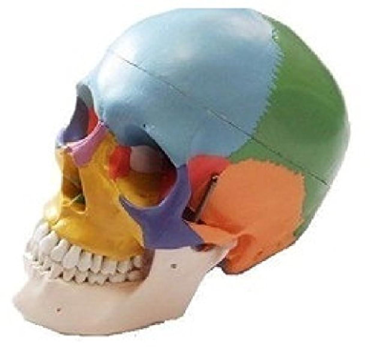 本当のことを言うと乳白色盆ノーブランド品 配色 頭蓋骨模型