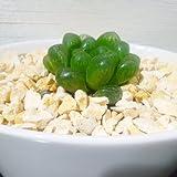 ハオルチア オブツーサ トルンカータ ホワイトオーバルポット 多肉植物 サボテン インテリア ハオルティア