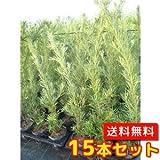 【ノーブランド品】 ラカンマキ 樹高0.6m前後 13.5~15cmポット 【15本セット】