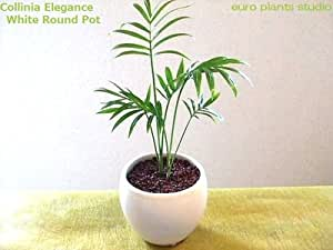 Collinia elegans/White Round Pot/美艶テーブルヤシ/ホワイトラウンドポット/インテリア観葉植物/ハイドロカルチャー