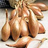 200個のエシャロット種子「Zebrune」 - フランスから家宝エシャロット、生産性の高い工場。オーガニック、未処理!