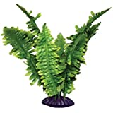 Komodo Boston Fern 25cm