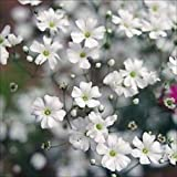 国華園 花たね 白花かすみ草 1袋(150mg)【※発送が国華園からの場合のみ正規品です】