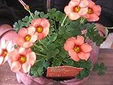 花苗 オキザリス「スプリングチャーム オレンジ」球根植物 3,5号ラベル付き苗