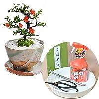 母の日 ミニ盆栽 ギフト 長寿梅の盆栽とはじめての道具セット 受け皿付き 初心者 プレゼント