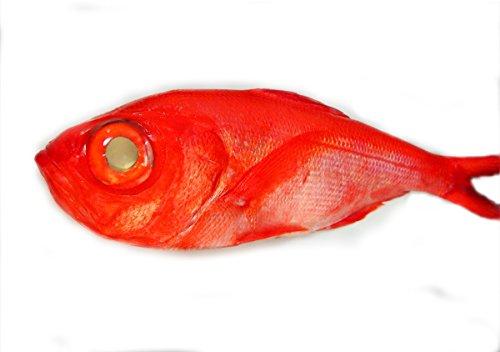 築地魚群 天然 地金目鯛 国産 1尾 1-1.3kgサイズ