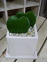 ラブラブハート ( ハートホヤ ) ラブリー 場所取らずでちょこっと置くだけ プレゼントや景品にも ミニ観葉植物サイズ 多肉植物 ハート サボテン ラブラブ 鉢植え 『One' Garden 植え替え済み オリジナル作成』