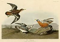John James Audubon 艺术家 ジクレープリント キャンバス 印刷 複製画 絵画 ポスター (レッドファラロペ) ビッグサイズ 80 x 56.9cm #DFB