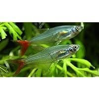 (熱帯魚・カラシン)グラスブラッドフィン SMサイズ 5匹