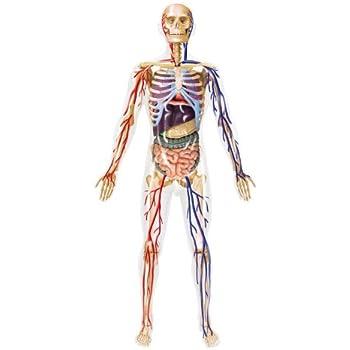 青島文化教材社 スカイネット 立体パズル 4D VISION 人体解剖モデル No.20 全身解剖スケルトンモデル