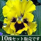 パンジー フリル咲き フリズルシズル イエロー 10.5cmサイズ大ポット 10ポットセット パンジー ビオラ すみれ 苗 寄せ植え
