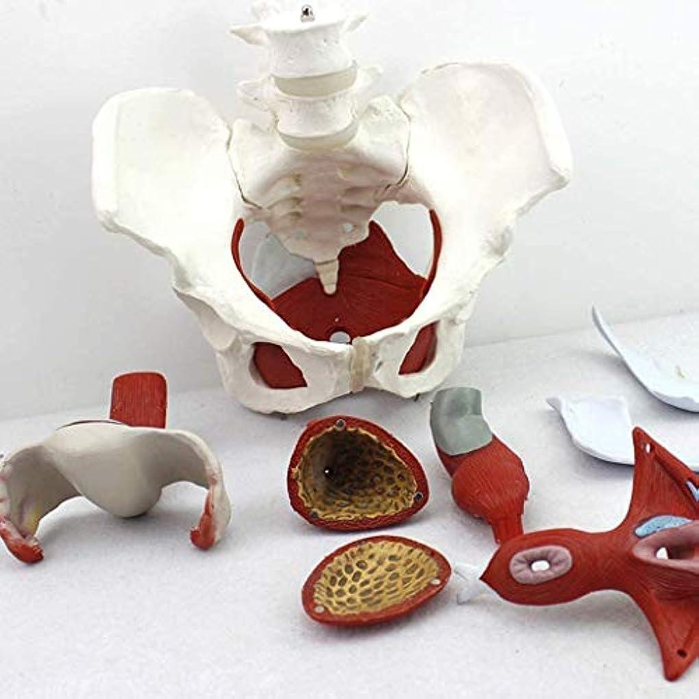 過ち発生ラテン交換筋肉、骨盤底モデル解剖から医者婦人科解剖モデル流域の女性の恥や器官からの教育
