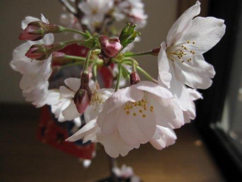 染井吉野 桜の苗 染井吉野桜 庭木