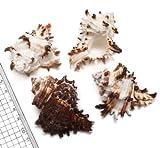 【貝殻パーツ】ノシメガンゼキ Mサイズ 1個