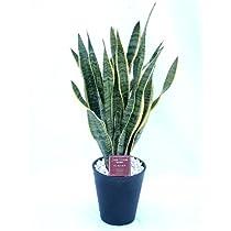 サンセベリア・トリファスキアタ(サンスベリア) 8号(8寸鉢) マイナスイオンを発生させる優れた観葉植物です リビングや匂いのこもる玄関にも空気清浄植物としてオススメです。