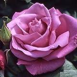 バラ苗 ムーンシャドウ 国産大苗6号スリット鉢 ハイブリッドティー(HT) 四季咲き大輪 紫系