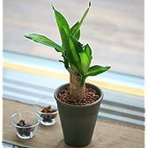幸福の木 ドラセナ マッサン 4号 陶器 鉢植え 観葉植物 インテリア グリーン
