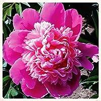 ATER Ducheピンクの花の種(CallitephuトールPaeony)50 +シード